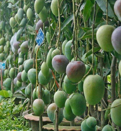 Mango Tree Mango Tree ...