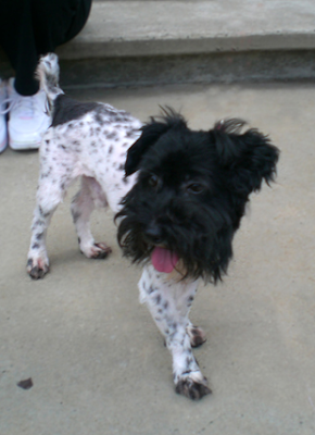 Supposed Scoodle or Terripoo designer dog