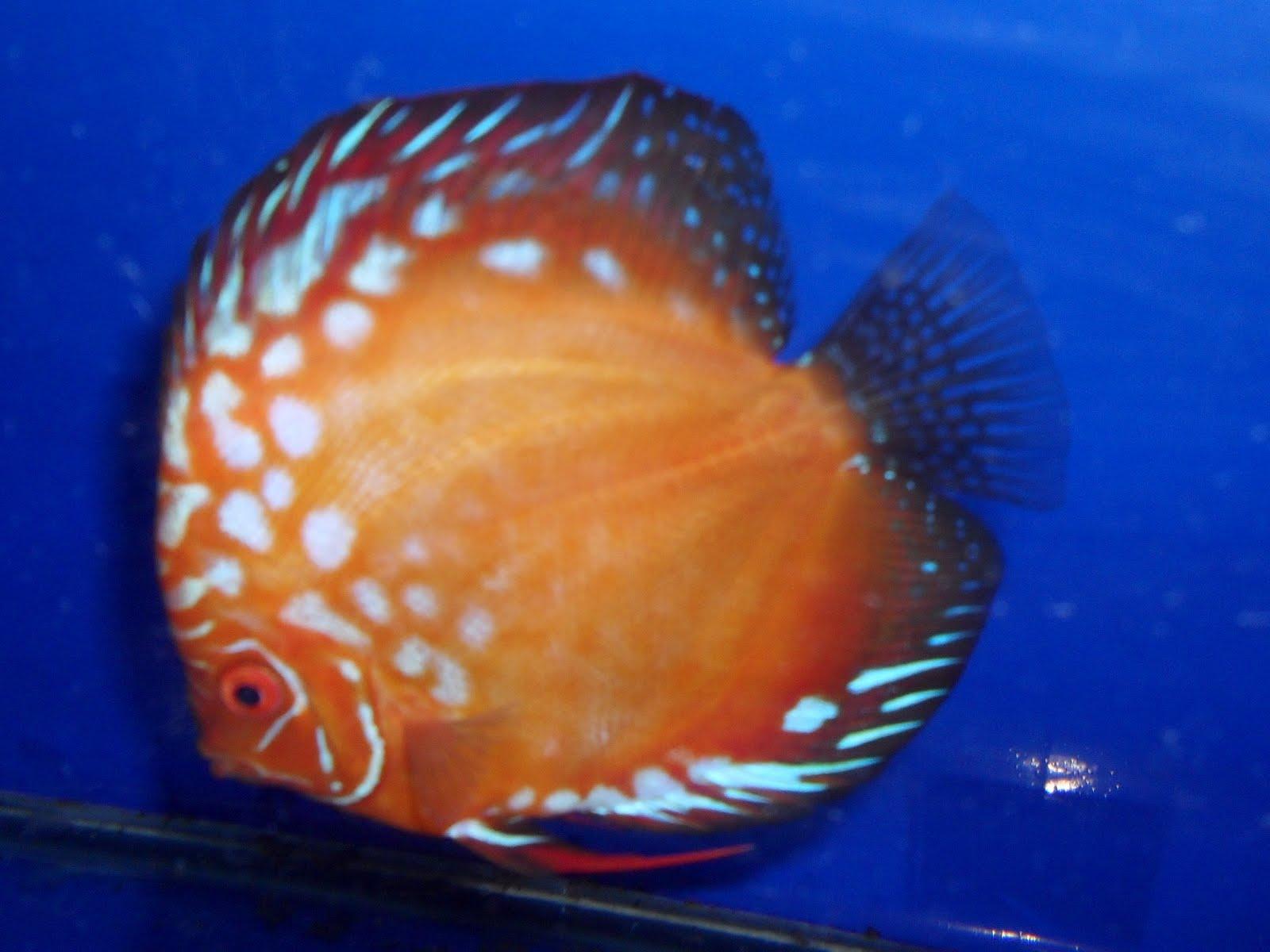 Nitin Ajgaonkar Discus Fish For Salee