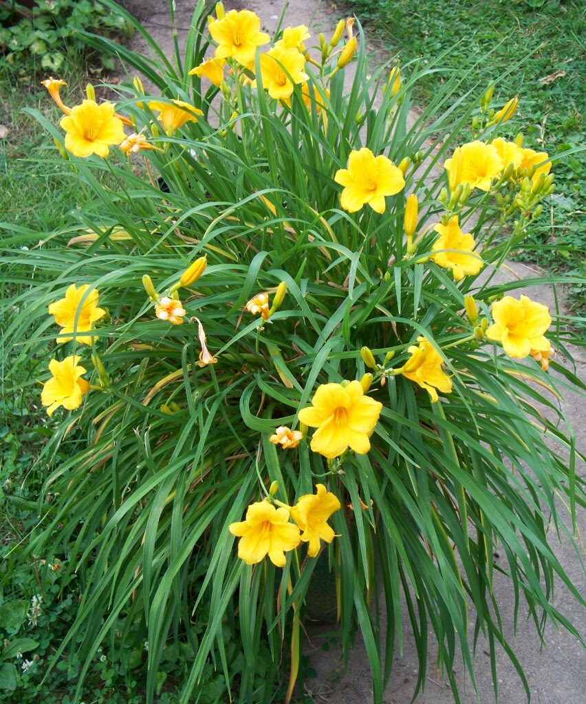 Types Of Lilies: Orange Explains It All: Day Lilies Have Begun Opening