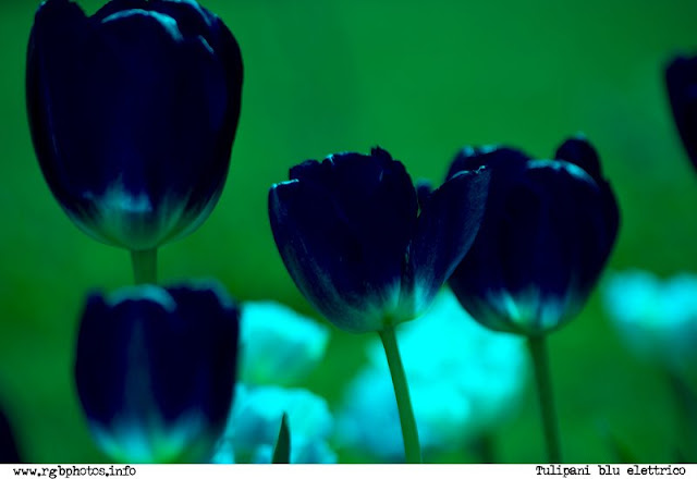Tulipani blu elettrico