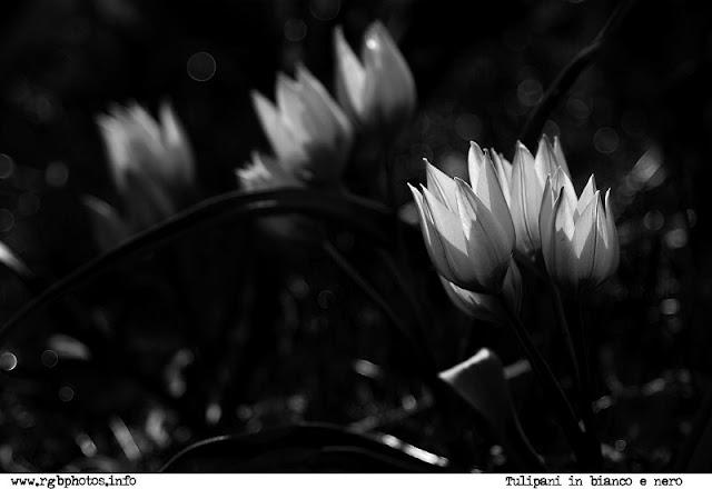 Fotografia di tulipani antoinette in bianco e nero