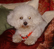 Our Bichon Frise, Caesar