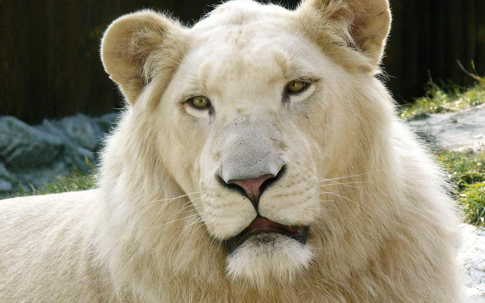 Beautiful Lions Wallpapers & Photos, Pictures - Free ...
