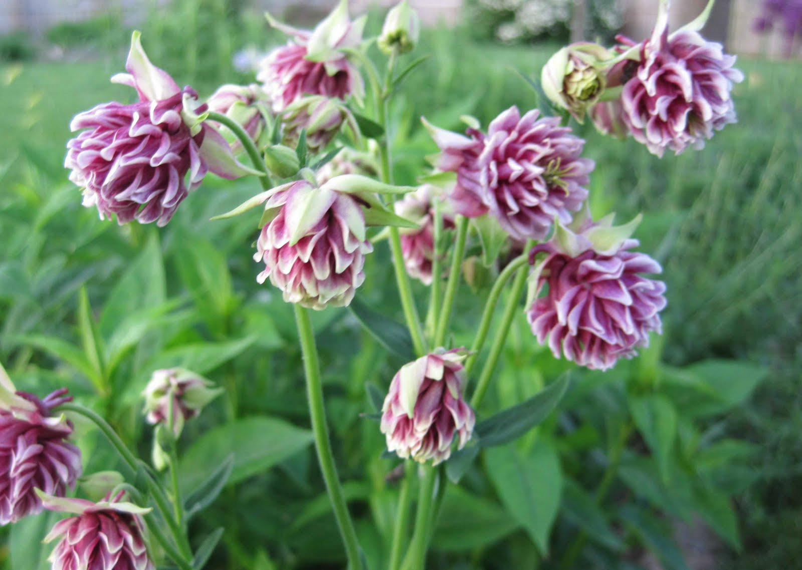 A collection of double flowering columbines may dreams gardens izmirmasajfo