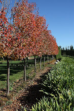 Snow pears in autumn