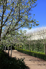Snow pears in early spring