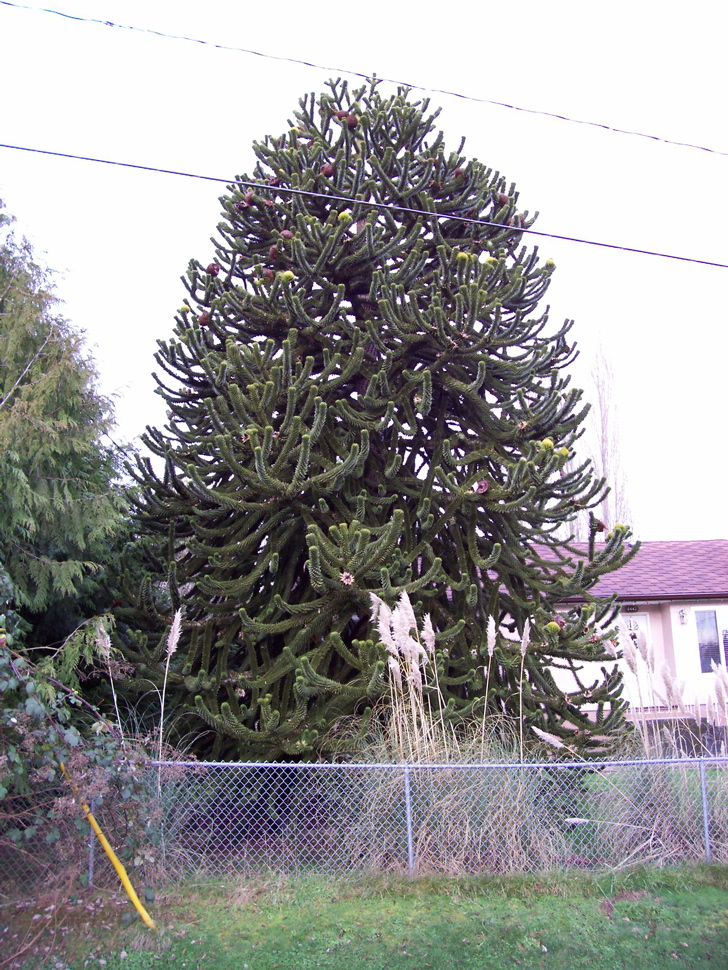 Monkey Puzzle Tree Wood For Sale
