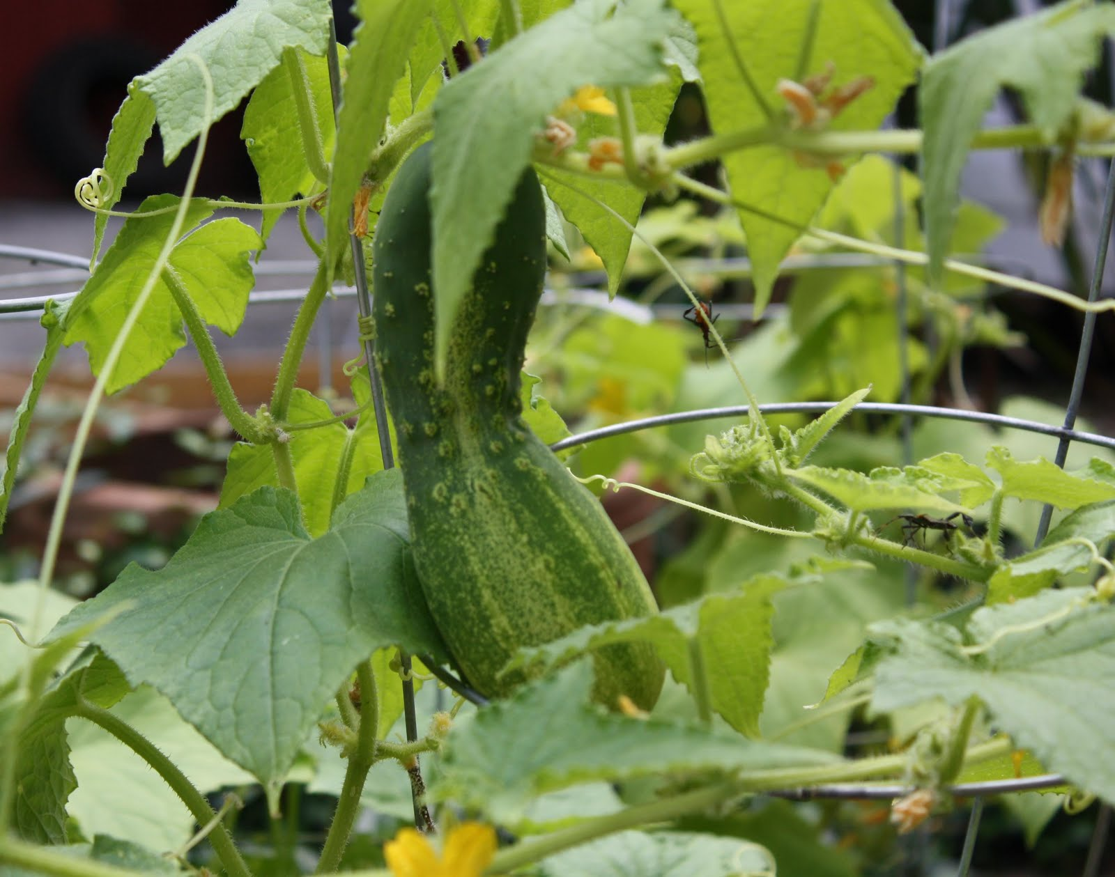 in assholes Cucumbers