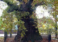 A very large oak tree