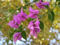 Bougainvillea in Jerusalem