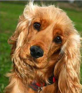 Brown Cocker Spaniel dog very cute look