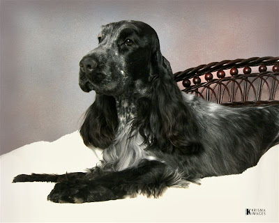 Black and grey  English Cocker Spaniel dog on bed