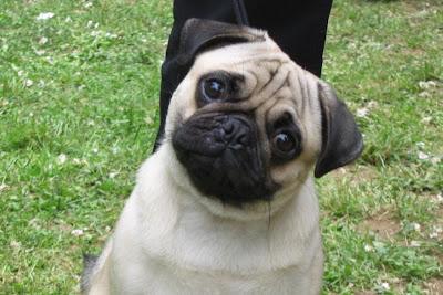 A Healthy Pug Dog
