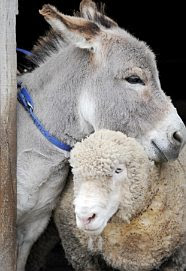 Donkey and Sheep