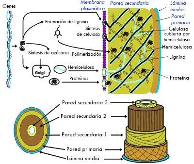 Resultado de imagen de pared celular vegetal