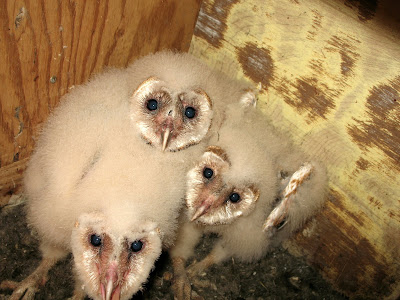 My Front Porch: barn owl babies...