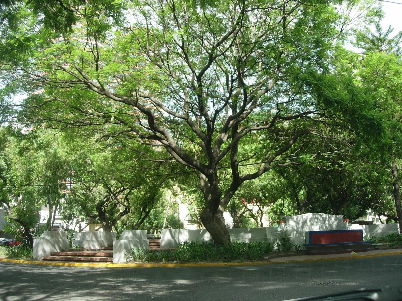 Siglo en la brisa  Árboles comunes de la ciudad de México (1 2) 2a30a7a9a4cdd