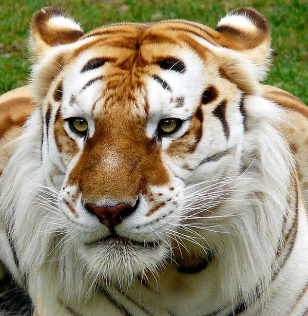 Golden Tigers