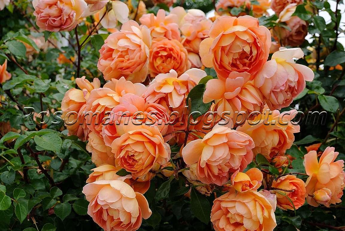 a rose is a rose pruning my david austin roses. Black Bedroom Furniture Sets. Home Design Ideas