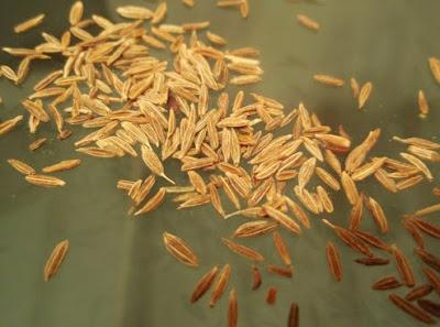 semillas de comino