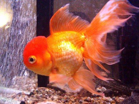 Goldfish: Varieties of domesticated goldfish