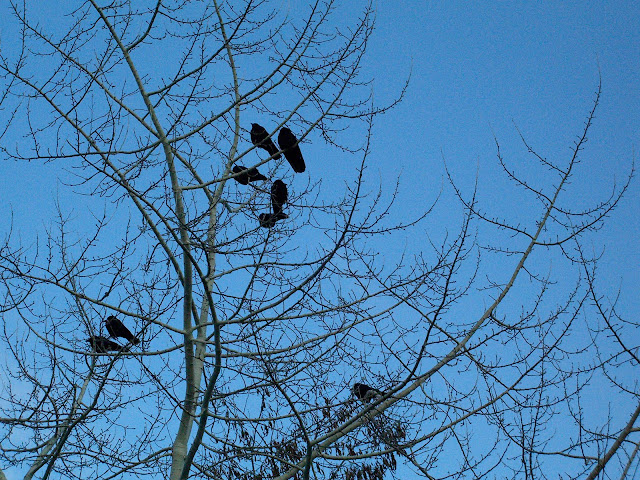American crows in a bare tree against a blue sky.