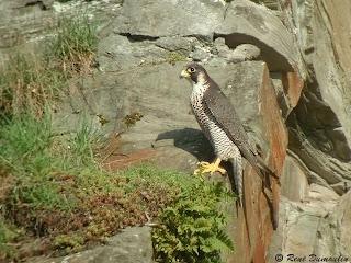 Halcón peregrino Falco peregrinus