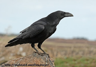 cuervo grande Corvus corax