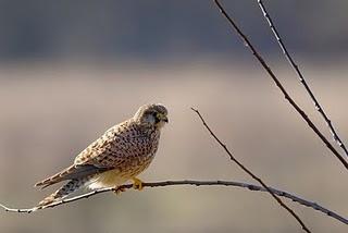 cernicalo vulgar Falco tinnunculus