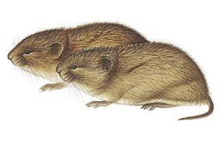 raton de la tundra Microtis oeconomus
