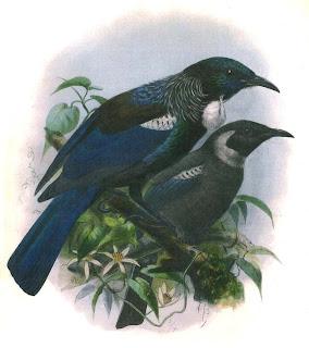 tui Prosthemadera novaeseelandiae fauna de Nueva Zelanda