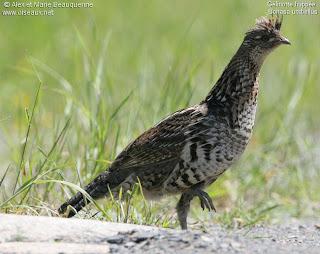 grevol englobado Bonasa umbellus american birds