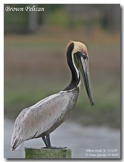 pelicano occidental Pelicanus occidentalis