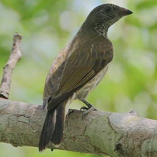 Indicador variegado Indicator variegatus african birds