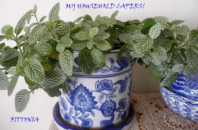 Gardening Not So Easy Care Indoor Plants Onia Verschaffeltii Or Nerve Plant