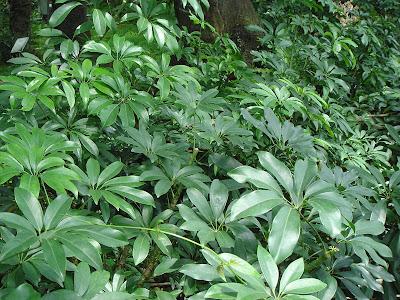 Schefflera+Arboricola Pruning A Schefflera Houseplant on pruning a corn plant, pruning a rubber tree plant, pruning a sago palm, pruning a staghorn fern, pruning a flowering maple, pruning a queen palm, pruning a ficus tree, pruning a jade plant,