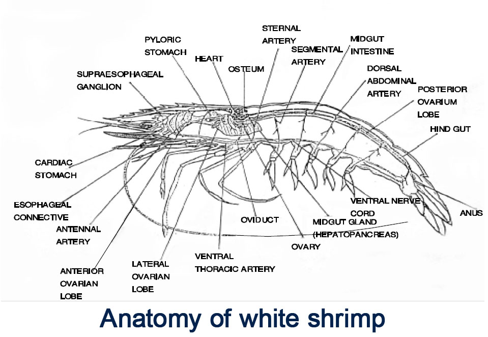 Shrimp diagram for learning how to devein shrimp
