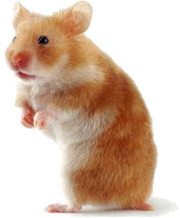 How to take care of your pets: Hamsters