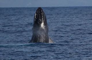 Breaching Humpback Whale off the coast of Maui Hawaii