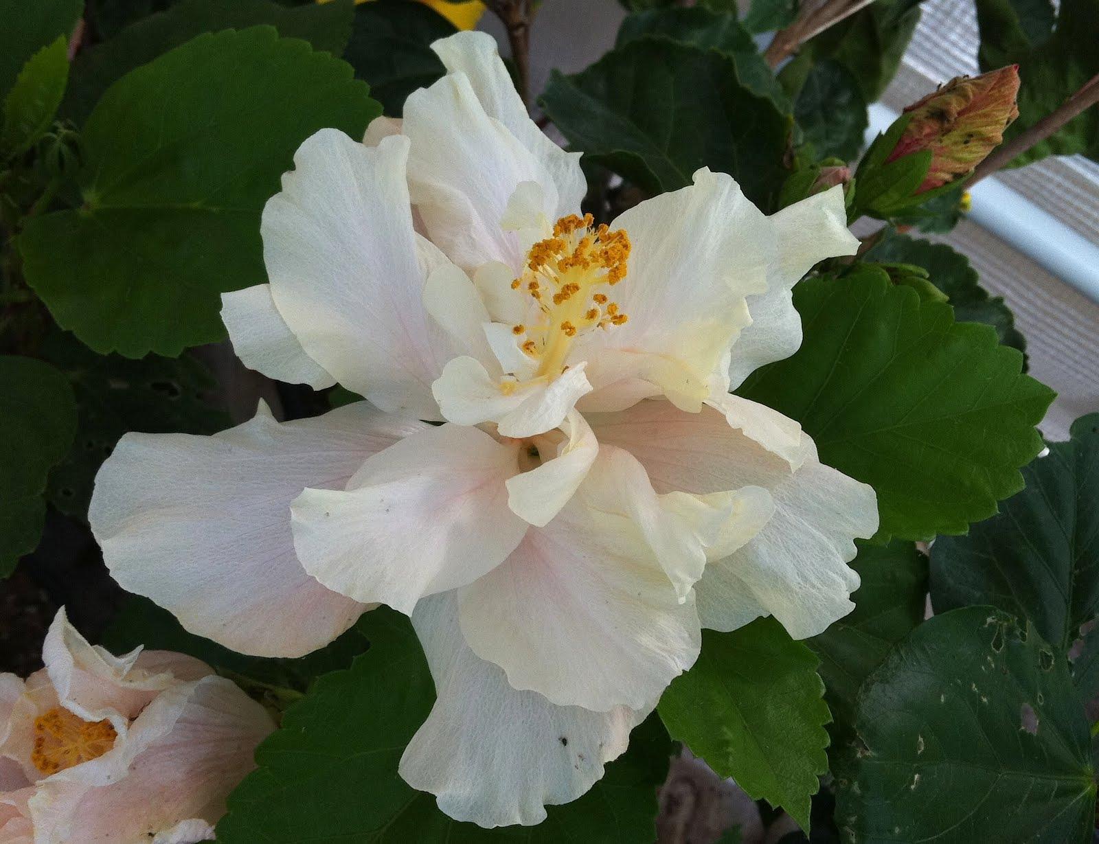 Hibiscus Rosa Sinensishibiscus Malvaceae