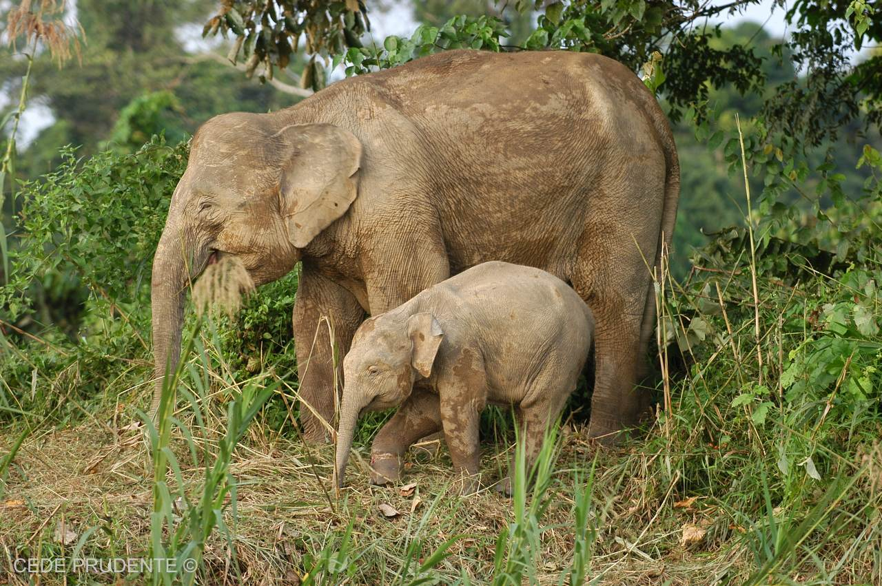 bornean elephant rescue and the documentary film cede prudente  bornean elephant rescue and the documentary film