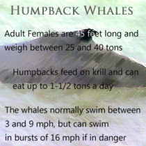 Some facts and figures about humpback whales
