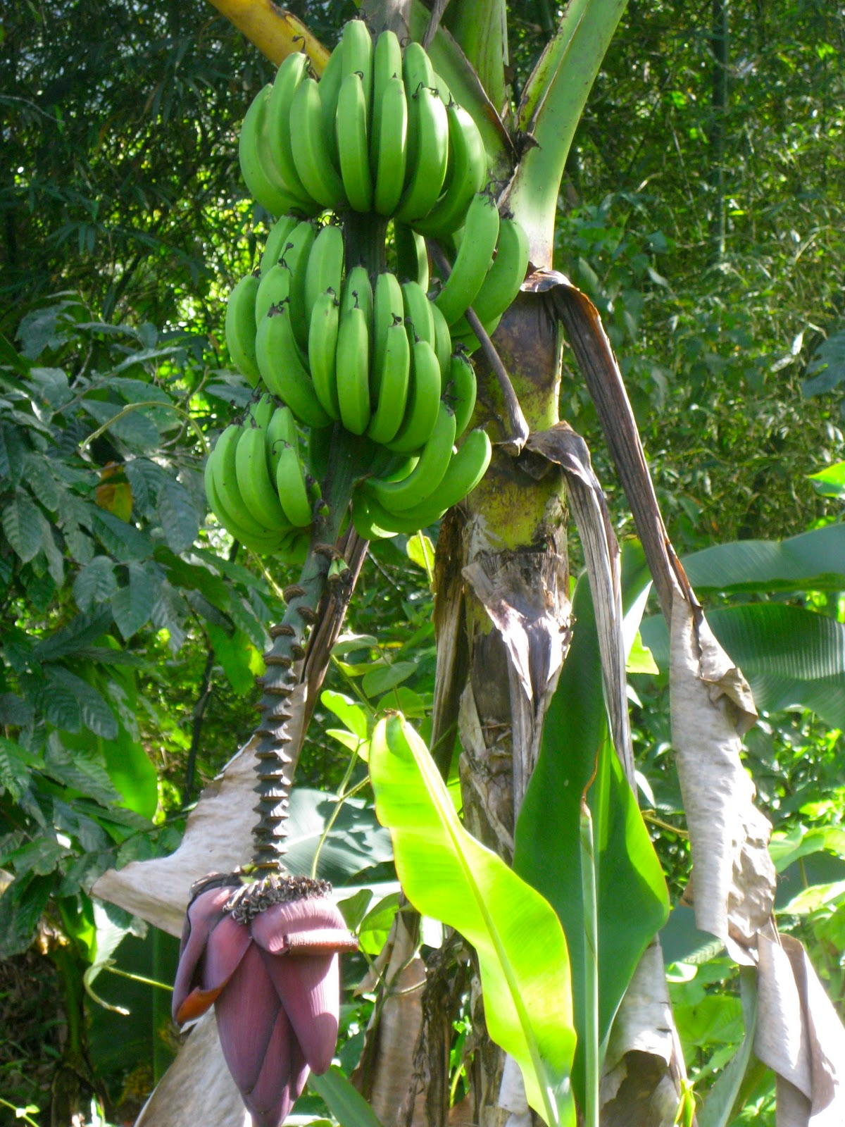 banana tree - photo #31