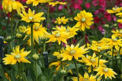 Gloriosa daisies