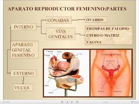 aparato reproductor femenino y sus partes definidas