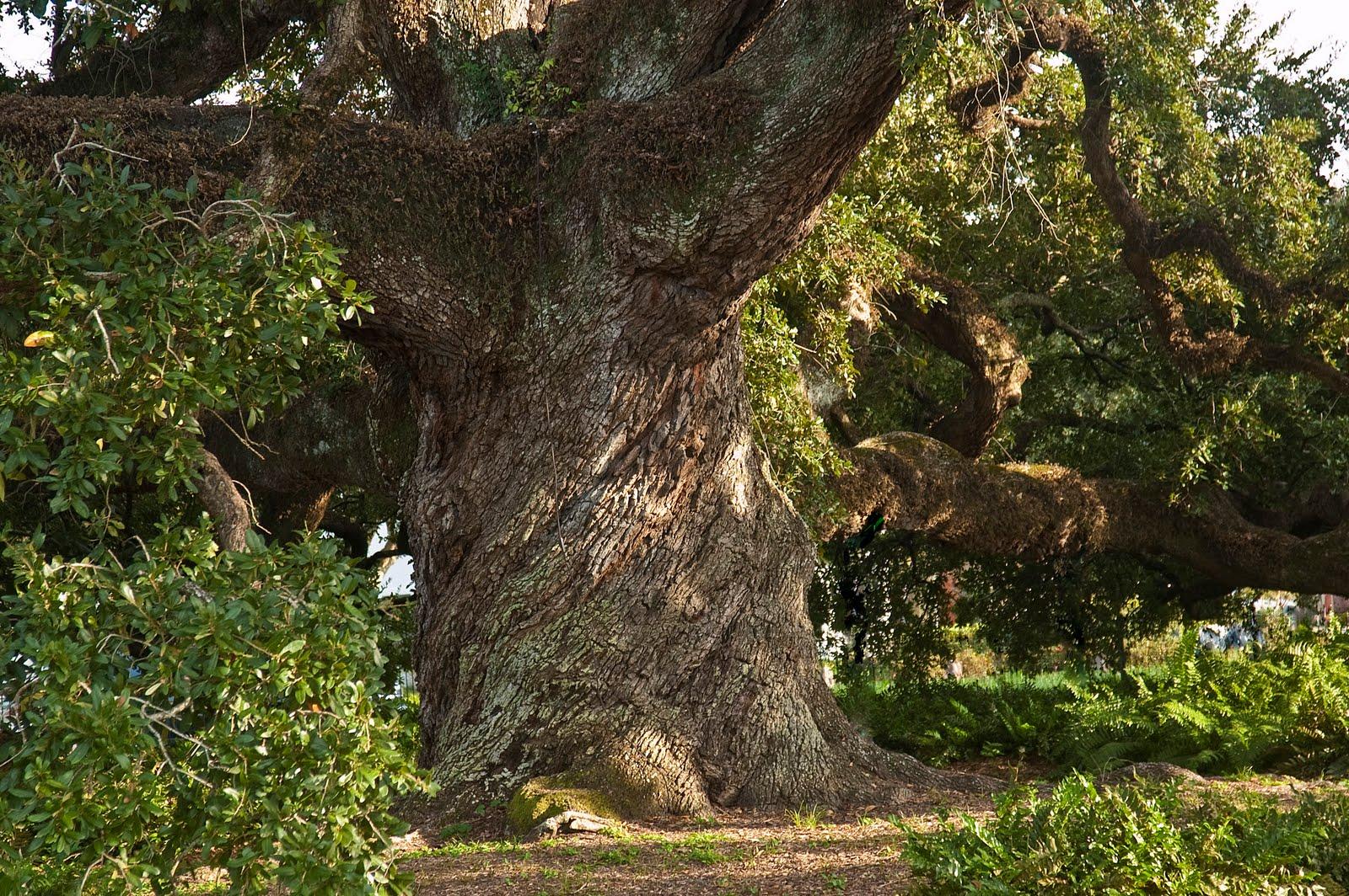 http://2.bp.blogspot.com/_o3ugtXzjSsc/SwgDAKziXgI/AAAAAAAABE8/voqzpLnD-Gc/s1600/St_John%27s_Cathederal_Oak_Tree.jpg