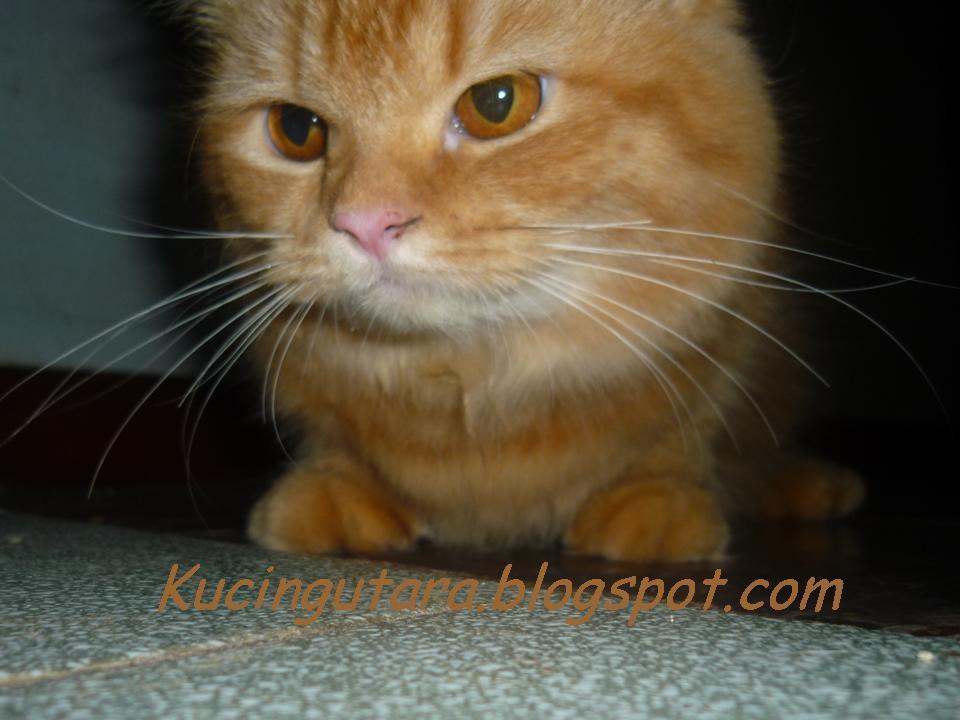 Kucing Utara Nama Timangan Kucing Di Jepun