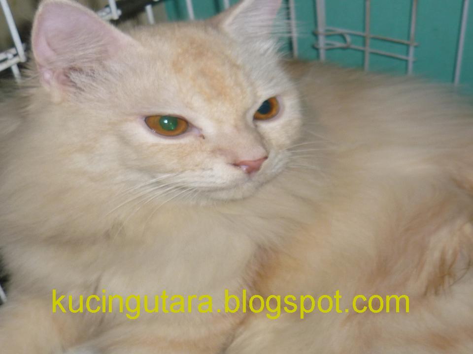 Kucing Utara Kenapa Kucing Jantan Membunuh Anak Kucing