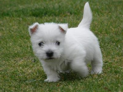 Pomeranian Puppies: West Highland Terrier